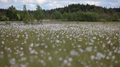 Cotton-grass on the northern marshes of Karelia Stock Footage