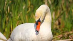 Mute swan caring its feathers, preening feathers with its bill Stock Footage