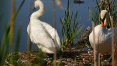 Wildlife in the lake, birds in nature, pair of mute swans and a coot Stock Footage