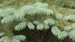 Blue spruce in the wind Stock Footage