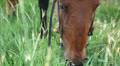 big horse is eating green grass outdoors Footage