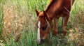 small horse eating grass Footage