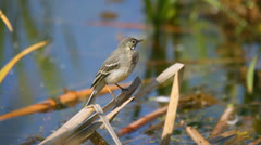 Beautiful young white wagtail sitting near water, then flies away, close-up Stock Footage