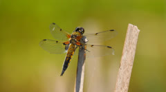 Dragonfly takes off, close-up Stock Footage