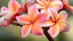 frangipani - stock footage