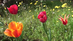 Stock Video Footage of Different tulip heads