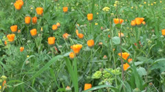 Marigold plot zoom out Stock Footage