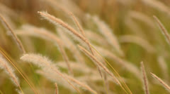 Cogon grass blowing in wind Stock Footage