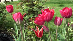 Tulip flower bed zoom in Stock Footage