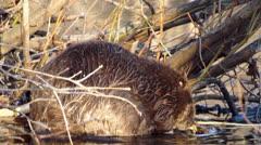 beaver - stock footage