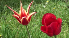 Stock Video Footage of Two different tulips
