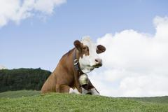 Stock Photo of Cow with cow bell laying down