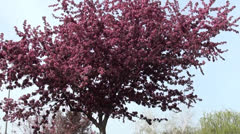 Wild fruit tree in blossom Stock Footage