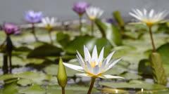 Beautiful lotus flower in pond Stock Footage