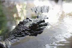 Yksityiskohta alligaattori vedessä Kuvituskuvat