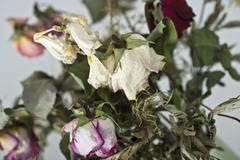 A bouquet of dying roses Stock Photos
