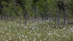 Cottongrass on the northern swamps of Karelia, Russia Stock Footage