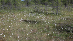 Close up view of cottongrass in bog of northern Karelia, Russia Stock Footage