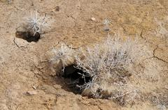 desert plants and rodent holes - stock photo
