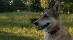 Dog in the Park Stock Footage