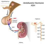 antidiuretic hormone - stock illustration