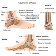 Stock Illustration of ligaments of ankle