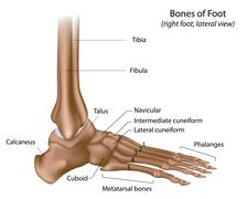 Bones of foot Stock Illustration