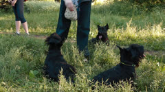 Three Scottish Terrier in the Park Stock Footage