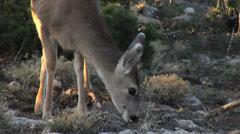 Mule Deer at Grand Canyon Arizona 2 Stock Footage