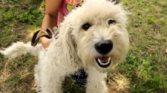 Terrier Stock Footage