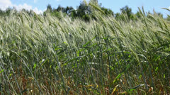 motion of green wheat. summer wind. season specific - stock footage