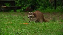 raccoon eating corn chips at  raccon creek state park - stock footage
