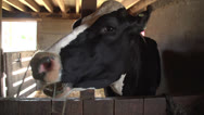 Stock Video Footage of Cow in a stable chewing, close up
