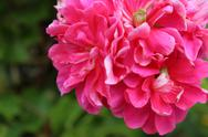 Stock Photo of Pink Flower 2