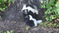 Stock Video Footage of Skunk Baby