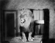 Growling lion in a living room - stock photo