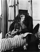 Chimpanzee sitting on basket wearing a monocle - stock photo