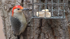 Male Red-bellied Woodpecker (Melanerpes carolinus) on a feeder Stock Footage