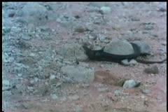 black snake slithering across rocky terrain - stock footage