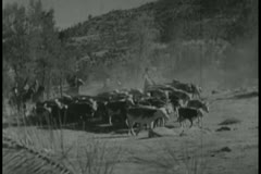 Stock Video Footage of cowboys herding cattle across the prairie