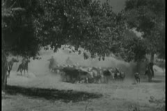 Cowboys herding cattle Stock Footage