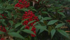 Red Berry Bush B Roll Stock Footage