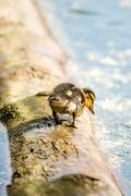 mallard duck with offspring - stock photo