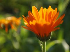 Stock Photo of calendula