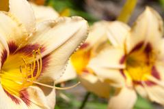 white lily flower macro abstract - stock photo