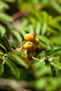European rowan sorbus aucuparia with orange berries in autumn Stock Photos