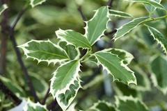 holly ilex aquifolium 'handsworth new silver' - stock photo