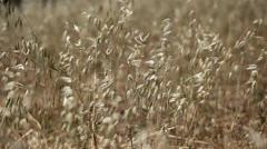 Gold wheat field Stock Footage