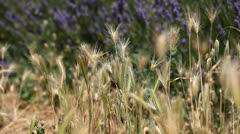 Gold wheat field Stock Footage