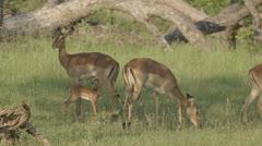 Grazing African Antelope - stock footage